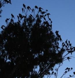 La colonia de loros barranqueros mas grande del mundo